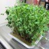 再生栽培した豆苗を収穫