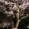 夜桜見物、そしてワイン
