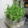 再生栽培した豆苗を収穫:二期作目