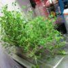 23日再生栽培した豆苗を収穫